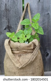 Green leaves grow out of burlap sack in a vertical garden