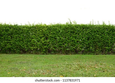 Green leaves hedge with green grass isolated on white  (Wrightia religiosa tree)