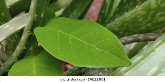 Green Leaves High Definition Picture