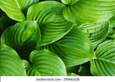 The green leaves of Hosta in summer. Green life concept.