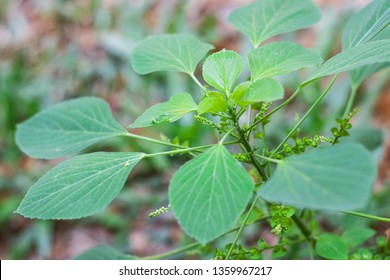 Acalypha Indica Images Stock Photos Vectors Shutterstock