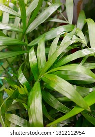 green leaves of indoor plant