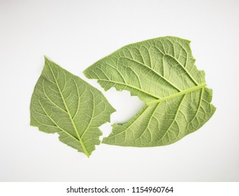 Green leaves isolated on a white background.