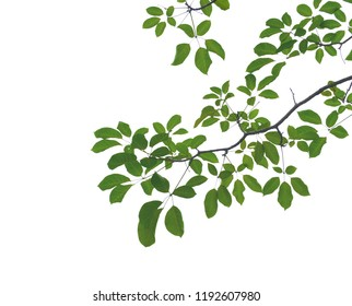 Green leaves isolated on white background,Clipping Path.