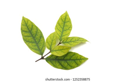 Green leaves isolated on white background.And small flower.