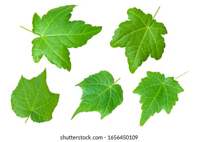 Green leaves isolated on white background. Home maple leaves