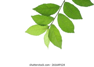 Green leaves , isolated on white background.
