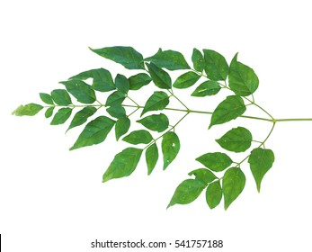Green leaves isolated on white background with clipping path.
