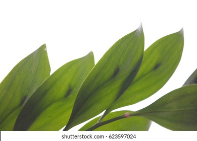 Green leaves isolated on white background, drops, nature