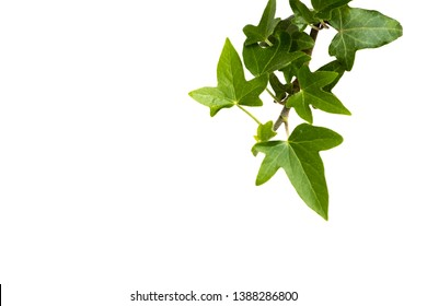 Green leaves ivy climbing vine plant, hanging branch of potted ivy indoor houseplant isolated on white background natural