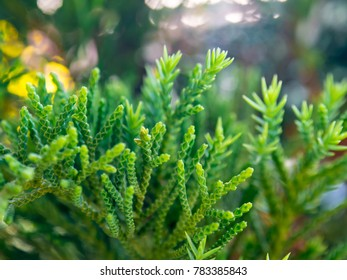 Green leaves of Juniperus Chinensis or dragon pine, macro lens, the beauty of nature.