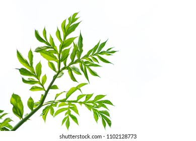 Green leaves of konjac isolated on white background