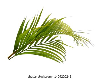 Green leaves or green leaf isolated on white background. Bamboo palm leaves or palm leaf on white background.