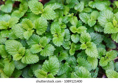 Green leaves of lemon balm - a fragrant herb used as a spice