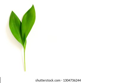 Green leaves of lilies of the valley on a white background