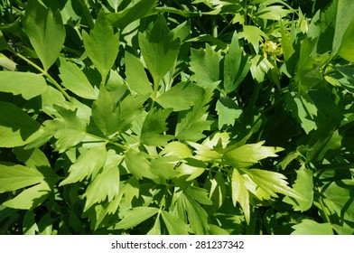 Green leaves of the lovage plant