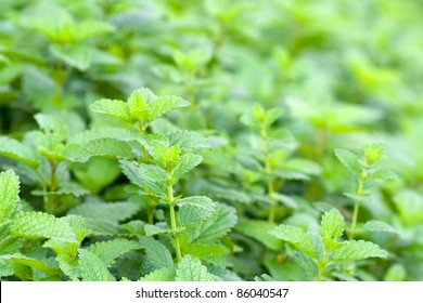 green leaves of melissa officinalis - lemon balm