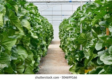 Green Leaves melon in hydroponics garden. Green Leaves melon in hydroponics farm. Nature Farm
