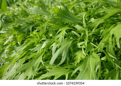 green leaves of Mizuna (potherb mustard)