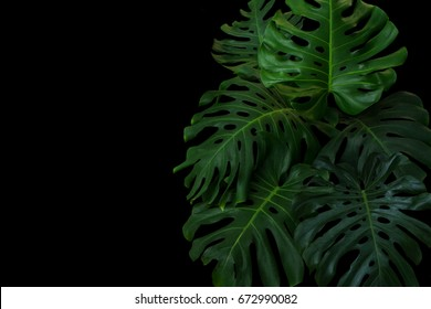 Green leaves of Monstera deliciosa or split-leaf philodendron growing in wild, the tropical forest plant, evergreen vine on black background.