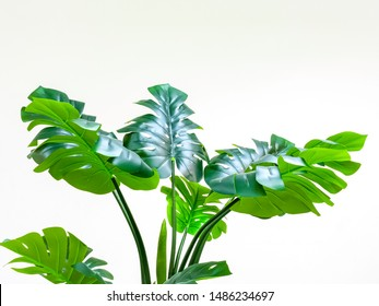 Green leaves of monstera or split-leaf philodendron, Swiss cheese plant, the tropical green leaves on white background, clipping path included.