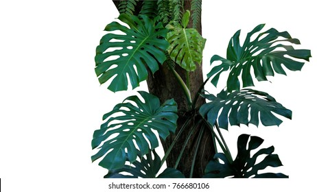 Green leaves of monstera or split-leaf philodendron (Monstera deliciosa) the tropical foliage plant growing in wild climbing on tree trunk isolated on white background, clipping path included.