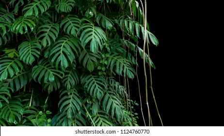 Green leaves of native Monstera (Epipremnum pinnatum) liana plant growing in wild climbing on jungle tree trunk, the tropical forest plant evergreen vines bush on black background with clipping path.