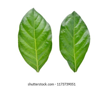 Green leaves of Noni or Morinda Citrifolia  isolated on white background with clipping path (Rubiaceae Noni, great morinda, indian mulberry, beach mulberry, cheese fruit, Gentianales)