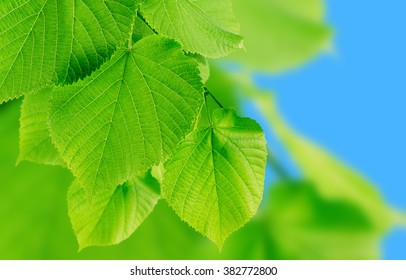 Green leaves on a blurred background