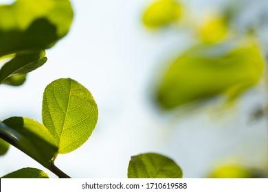 Green leaves on a branch of bonsai tree closeup
