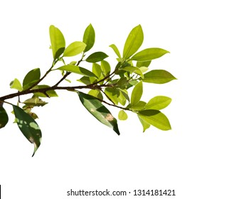 Green leaves on branch isolated on white background. with clipping path.