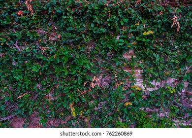 Green leaves on brick wall background