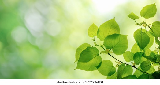 Green leaves on elm tree. Nature spring and summer background.