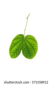 Green leaves on isolated white background.