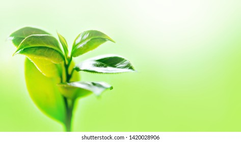 Green Leaves on summer,(photo blurred.)