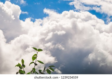 Green leaves on tree branches against white fluffy cumulus clouds in bright blue sky