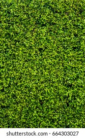 Green leaves on the wall background texture in summer, leaf wall, beautiful green leaves wall for design or architect, part of home or house for decoration or design or architect