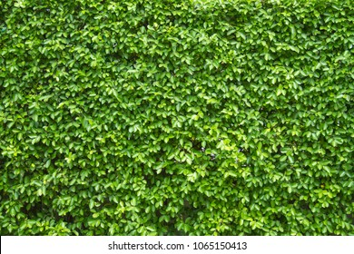The Green leaves on a Wall, Green nature background.