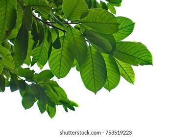 Green leaves on white