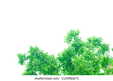 The green leaves on white background in spring season at natural park have colourful of tree for relax in my life.