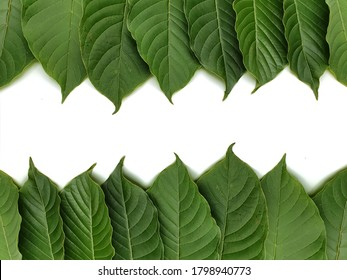 Green leaves on white background. Mitragyna speciosa isolated on white background. Leaves of Mitragyna speciosa Korth. The leaves eaten as a drug, medicinal plant and is addictive substance