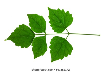 Green leaves on a white background.