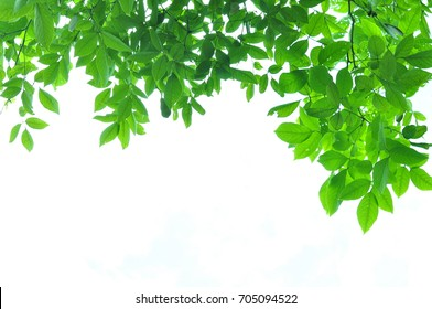 The green leaves on white background in spring season at natural park have colorful of tree for relax in my life.