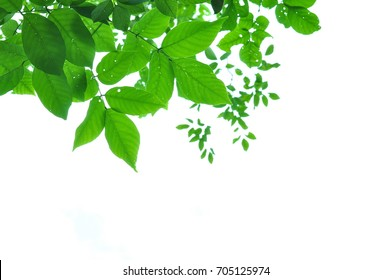 Green leaves on white background of the tree near my home.