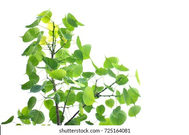 Green leaves on a white background,Bodhi or Peepal Leaf from the Bodhi tree, Sacred Tree for Hindus and Buddhist.On white background