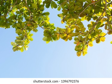 Green leaves over a bright blue sky at Ilhabela island, Brazil