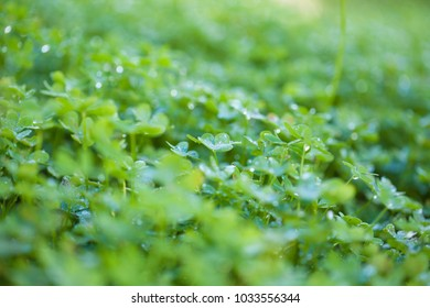 green leaves of Oxalis pes-caprae, Bermuda buttercup, invasive species and noxious weed