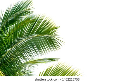 Green Leaves of palm ,coconut tree bending isolated on white background