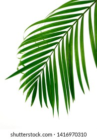 Green leaves palm isolated on white background with clipping path for design elements