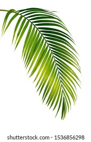Green leaves palm isolated on white background. Green leaves from Tropical